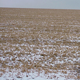 Suffocating effects of ice can lead to alfalfa stand losses.  (photo courtesy of Greg Andrews)
