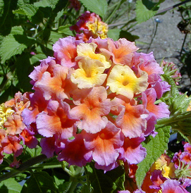 Lantanas produce long-stalked, flat-topped clusters of small, colorful, tubular flowers.