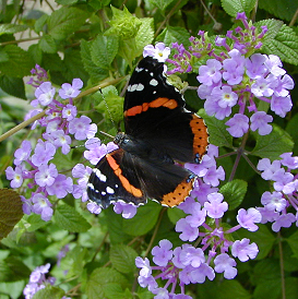 Lantana flowers are particularly attractive to butterflies.
