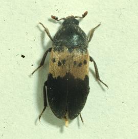 An adult larder beetle.