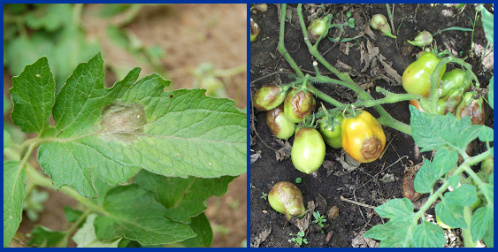 On tomato leaves (left), late blight leads to brown-black, water-soaked, oily areas that may have a white-gray fuzzy look. On tomato fruits (right), late blight leads to large, often sunken, golden- to chocolate-brown, firm spots with distinct rings.