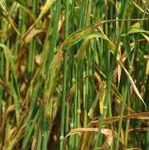 In Wisconsin, leaf blotch diseases can lead to yield losses of up to 30% in small grain crops such as winter wheat.  (photo courtesy of Craig Grau)