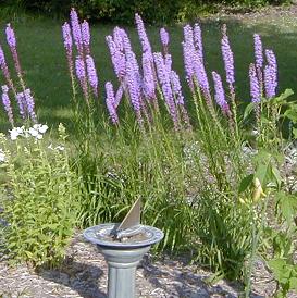 Liatris can be used in borders or in informal meadow plantings.