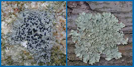 There are many types of lichens.  Crustose lichens (left) are crust-like and adhere tightly to the surface upon which they grow.  Foliose lichens (right) are leaf-like and composed of flat sheets of tissue that are not tightly bound.