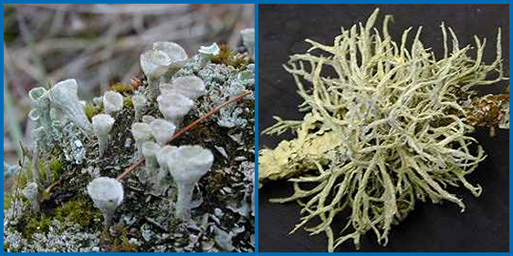 There are many types of lichens.  Squamulose lichens are composed of scale-like parts.  Fruticose lichens are composed of free-standing branching tubes.