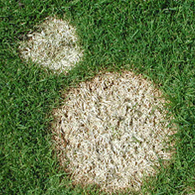 On short-cut grass, Microdochium patch leads to the formation of round, pink-edged patches of dead turf that form over the winter.
