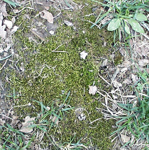 Moss often grows in bare areas of turf under moist, shaded conditions.