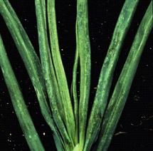 Onion thrips damage to onion foliage.