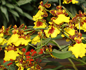 Oncidium orchids, often referred to as dancing ladies, often produce spikes with numerous beautiful blooms.