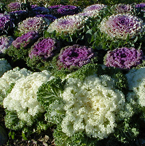 Ornamental cabbages and kales are prized for their brightly colored foliage.