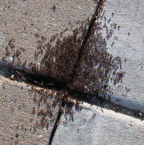 Pavement ants on a sidewalk.