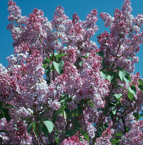 The blooming of lilac shrubs is a common phenological indicator.