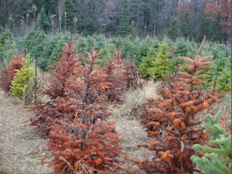 Phytophthora root rot can cause severe losses in commercial Christmas tree production. (Photo courtesy of Sara Ott)