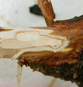 Extensive external and internal darkening of root tissue is typical of Phytophthora root rot.