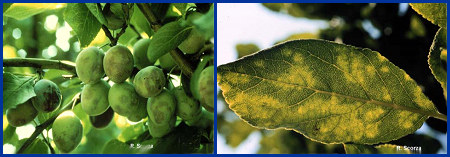 Plum pox symptoms on immature plum fruits (left), and a plum leaf (right).  (Photographs courtesy of R. Scorza and obtained from West Virginia University at http://www.caf.wvu.edu/kearneysville/wvufarm1.html)