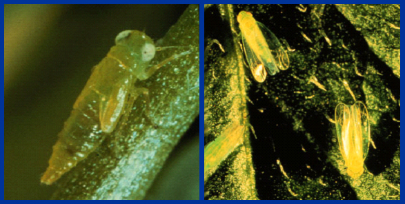 A potato leafhopper nymph (left) and potato leafhopper adults (right).