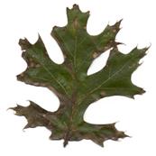 Tubakia leaf spot