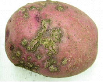 Powdery scab symptoms on a red-skinned variety of potato. (Photo courtesy of Anette Phibbs)