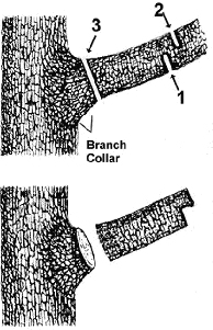 The three step method of pruning large limbs.
