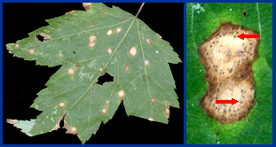 Purple-bordered leaf spot (l).  Within the leaf spots (r), small, black, pimple-like fungal fruiting bodies form (red arrows).