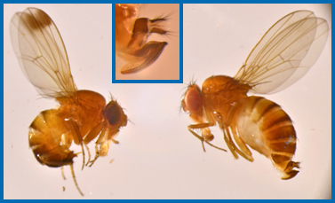 SWD males (left) have dark spots at the tip of each wing.  Females (right) lack these spots, but have a serrated egg-laying structure (see insert).