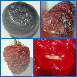 SWD damage (clockwise from lower left) on raspberry, blueberry and strawberry.  An SWD larva on a raspberry fruit (lower right).  (Fruit photos courtesy of USDA ARS HCRU-Lee Lab; larva photo courtesy of Phil Pellitteri)
