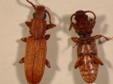 Sawtoothed grain beetles