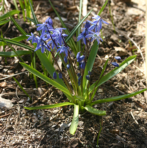 Siberian squill produces whorls of grass-like leaves and nodding, bright blue flowers.
