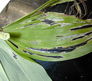 Slug damage on a Hosta leaf.