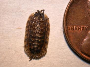 A sowbug.