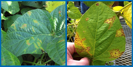 Yellowing and death of leaf veins, as well as mosaic patterns, are typical symptoms of soybean vein necrosis disease.