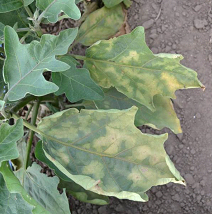 A blotchy yellow leaf color can be an initial symptom of Verticillium wilt on eggplant.  (photo courtesy of Amanda Gevens)