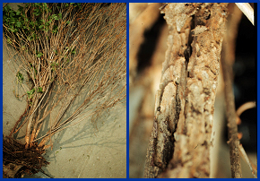 Viburnum borer damage: Dieback on a shrub (left) and close-up of damage on a lower stem (right).