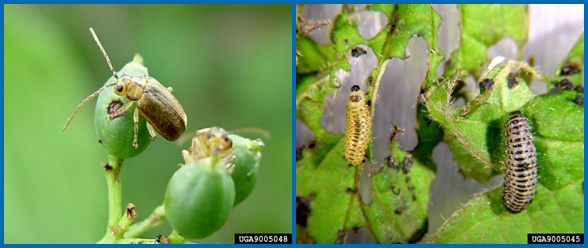 Viburnum leaf beetles adults (left) and larvae (right). (Photos courtesy of Paul Weston, Cornell University, Bugwood.org)