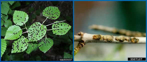 Adult viburnum leaf beetle feeding damage (left) and egg-laying sites (right). (Photos courtesy of Paul Weston, Cornell University, and Bruce Watt, University of Maine; Bugwood.org)