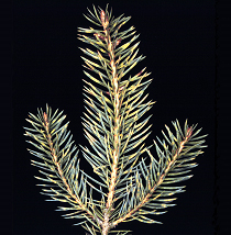Yellow spots and bands in winter on spruce shoots affected by Weir's cushion rust.