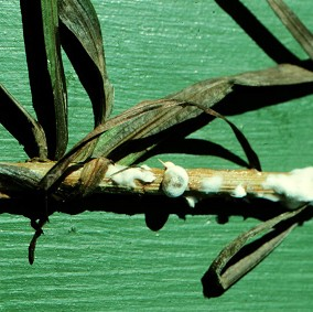 White mold can be destructive on ornamentals such as Liatris.