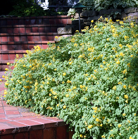Yellow corydalis makes an excellent border plant.