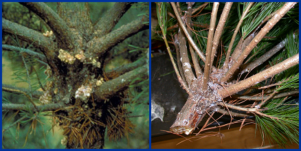 Symptoms of Zimmerman pine moth.  Tunneling by larvae in branch whorls leads to formation of masses of pitch (left).  Sap from feeding sites often runs down branches and trunks (right).  Left photo courtesy of the Minnesota Department of Natural Resources Archive, Minnesota Department of Natural Resources, Bugwood.org