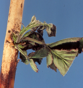 Cane death on a thornless blackberry caused by cane blight.  Look for a dark brown infection line and dead/dying shoots above the point of infection.  (Photo courtesy of Michael Ellis, The Ohio State University)